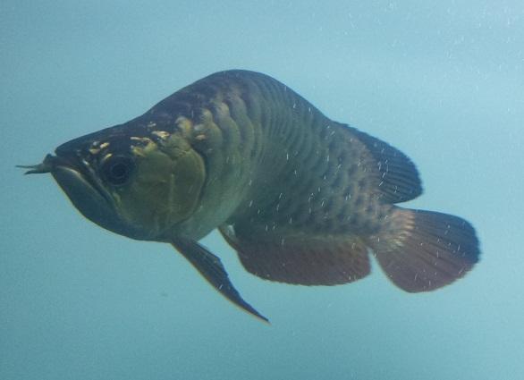 ผลการค้นหารูปภาพสำหรับ ปลาตัวคด